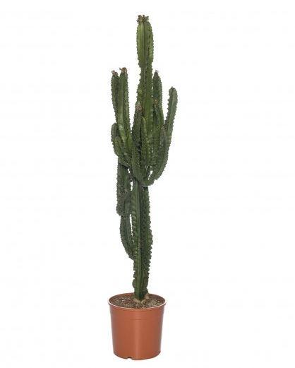 Cactuss je weet