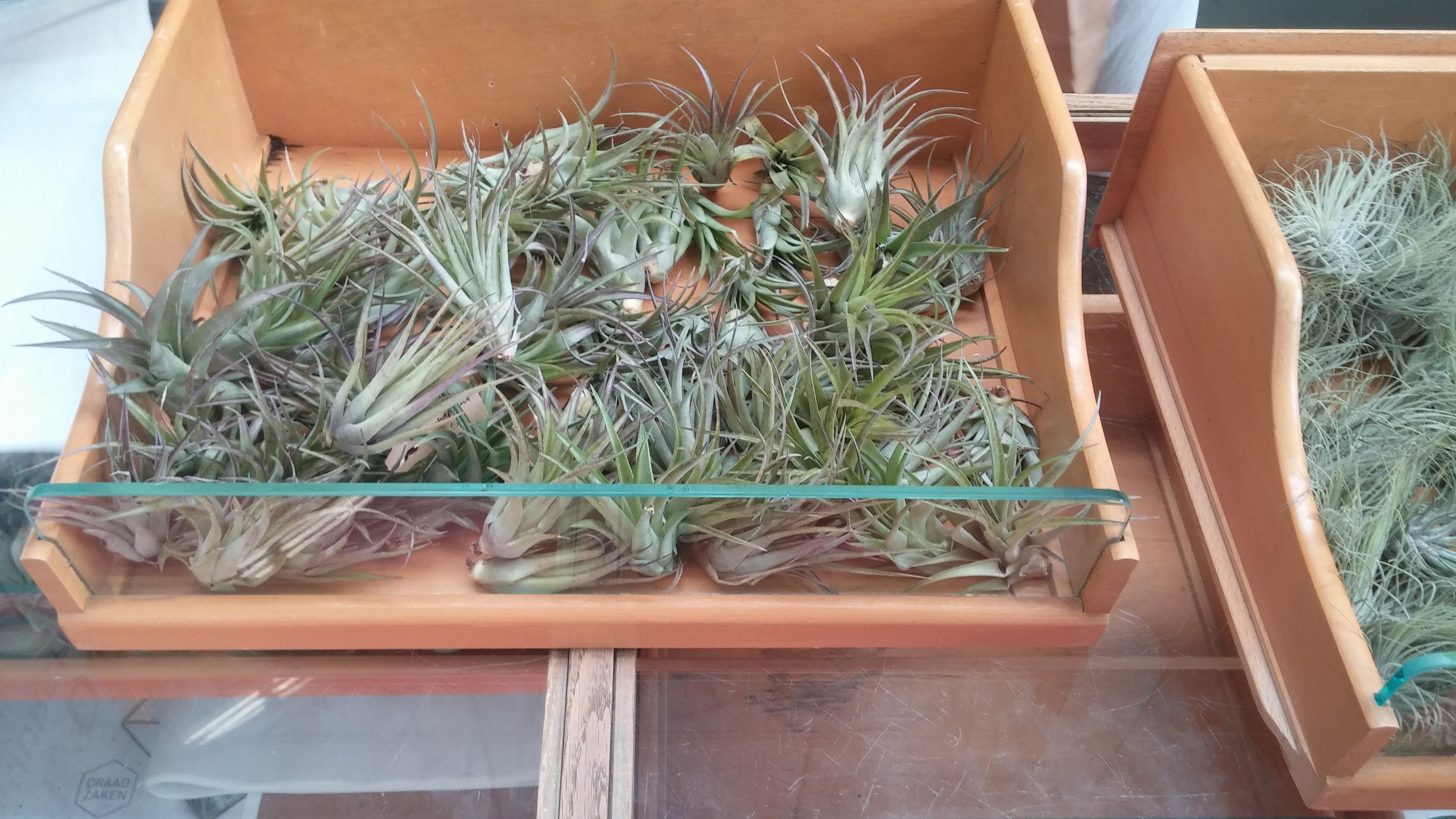 foto-6-luchtplantjes